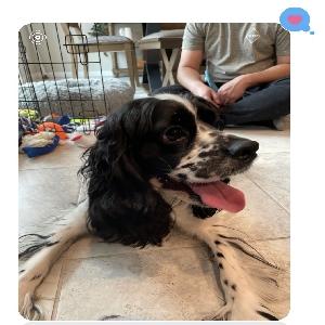 adoptable Dog in Las Vegas, NV named Kylo