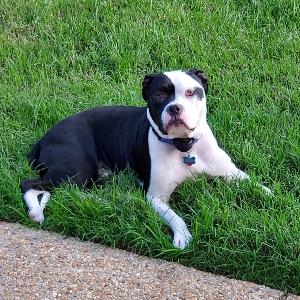 adoptable Dog in Glen Allen, VA named Titan