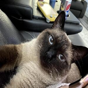 adoptable Cat in Henderson, NV named Charlie