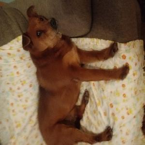 adoptable Dog in Taos, NM named Xena