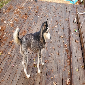 adoptable Dog in Chesapeake, VA named Cha cha