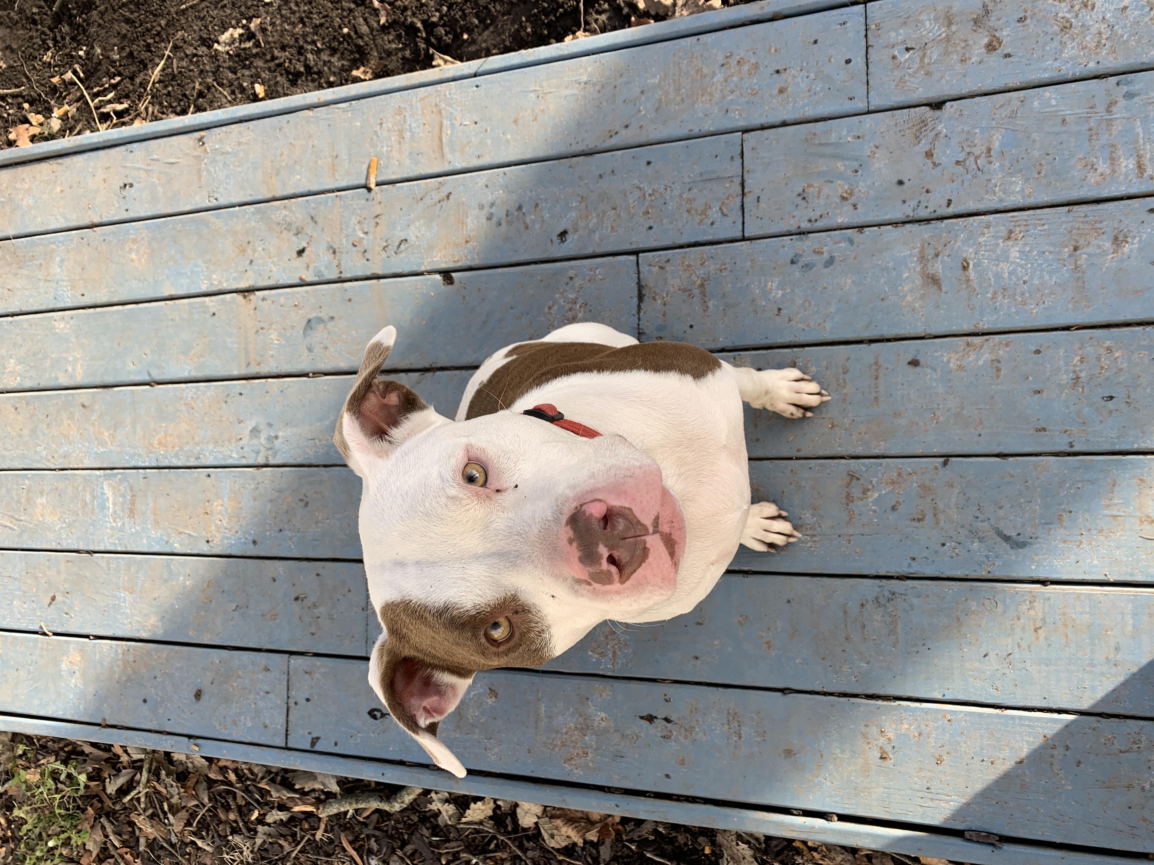 adoptable Dog in Virginia Beach,VA named Beau