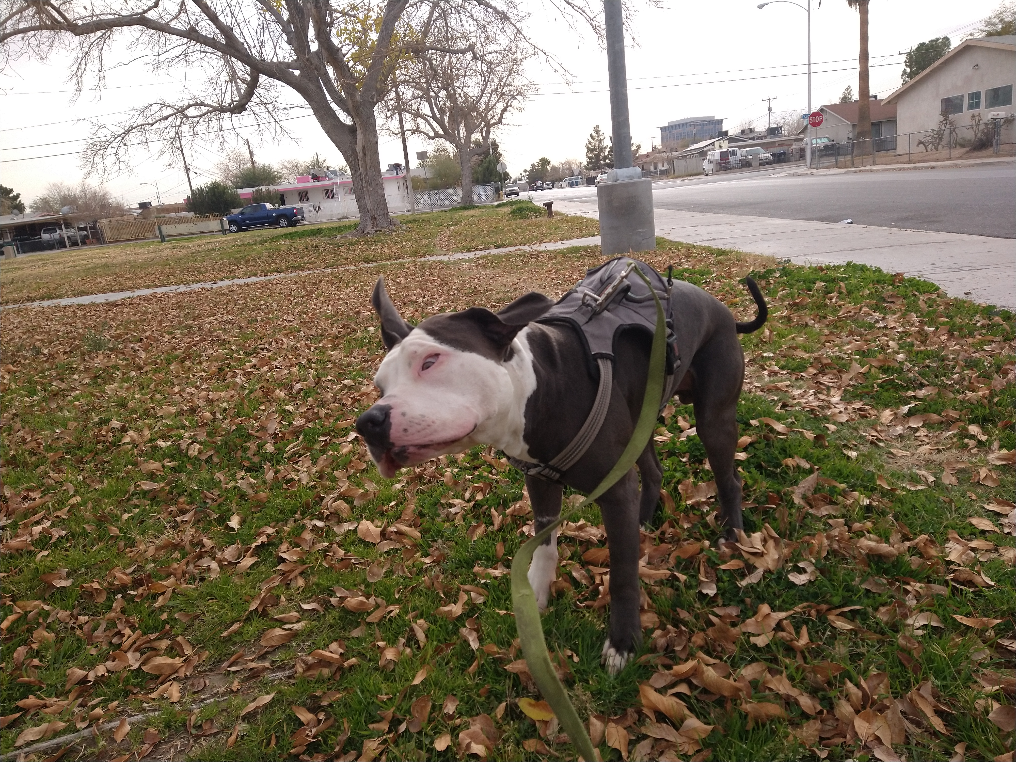 adoptable Dog in North Las Vegas,NV named Milo