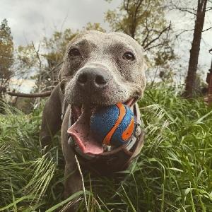 adoptable Dog in Portland, OR named Indigo