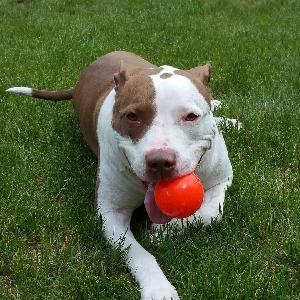 adoptable Dog in Dracut, MA named Simon
