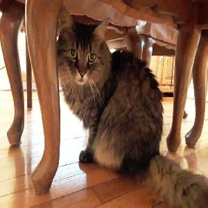 adoptable Cat in Garden City, NY named Maxx