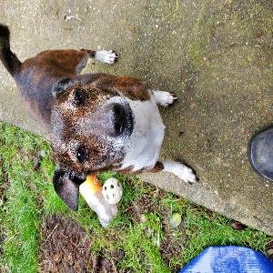 adoptable Dog in Federal Way, WA named Romeo