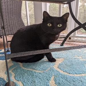 adoptable Cat in Slidell, LA named Luna