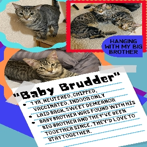 adoptable Cat in Belton, TX named Baby Brother