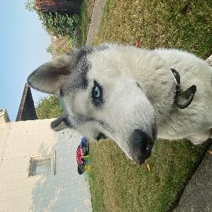 adoptable Dog in Salem, OR named Indiana Bleu