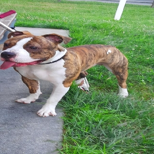 adoptable Dog in , DE named Remy