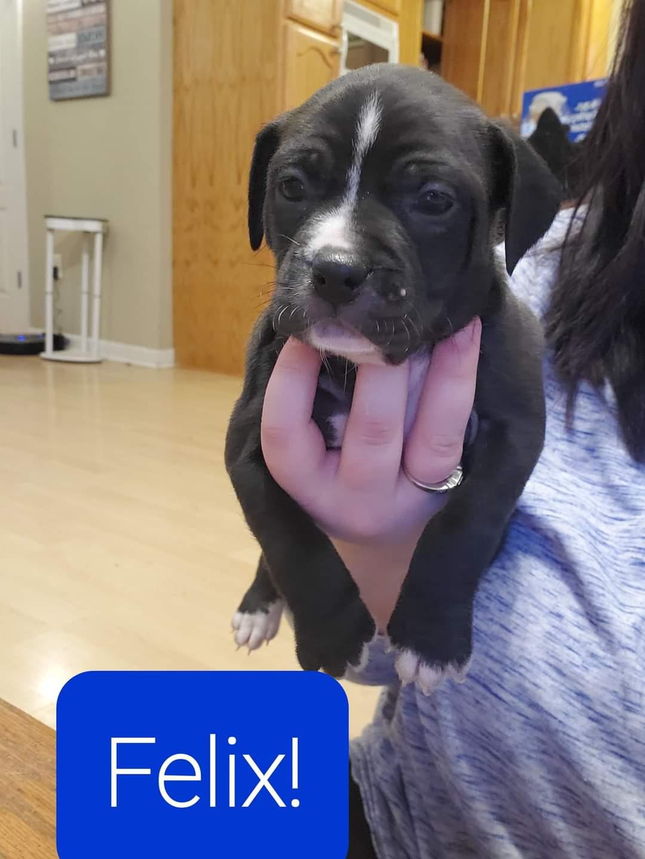adoptable Dog in Saint Amant,LA named Felix