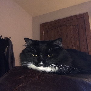 adoptable Cat in Henderson, NV named Milo