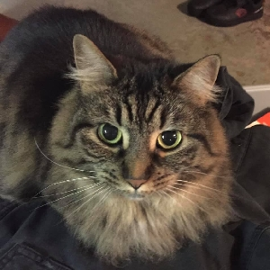 adoptable Cat in Cape Girardeau, MO named Roxy