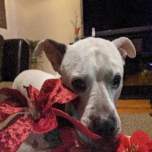 adoptable Dog in Lodi, NJ named Snowflakes