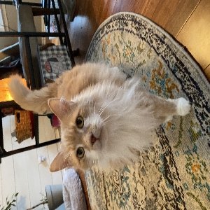 adoptable Cat in Summerville, SC named Gunther