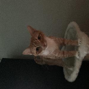 adoptable Cat in Glen Allen, VA named Bubbles