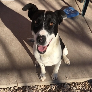 adoptable Dog in , WY named Cowboy