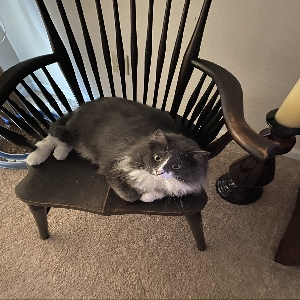 adoptable Cat in Chesterfield, MO named Charlotte