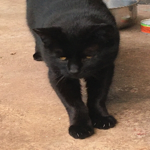 adoptable Cat in Portland, OR named Blackie