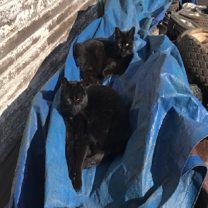 adoptable Cat in Portland,OR named Blackie