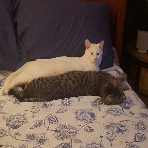adoptable Cat in Vineland, NJ named Appa