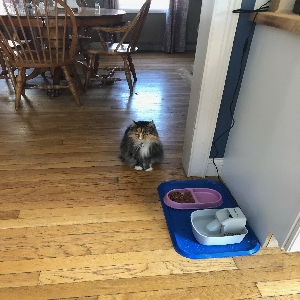 adoptable Cat in , NH named Forte