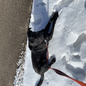 adoptable Dog in Caldwell, ID named Elway
