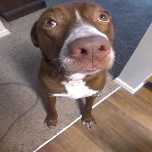 adoptable Dog in Bountiful, UT named Pheonix