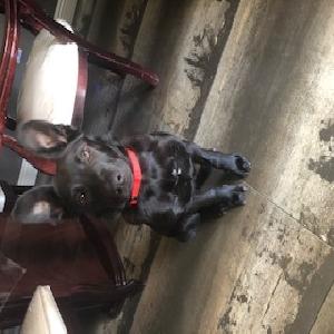 adoptable Dog in Las Vegas,NV named Knight