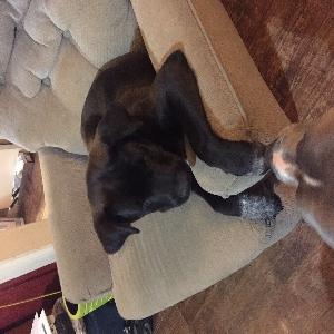 adoptable Dog in Oklahoma City, OK named Hawk