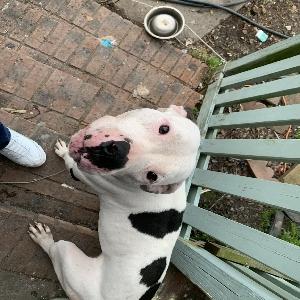 adoptable Dog in Myrtle Beach, SC named Callie