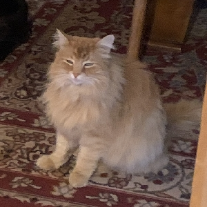 adoptable Cat in Bend, OR named Simba