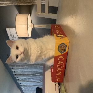 adoptable Cat in Lincoln, NE named Opal