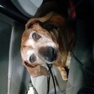 adoptable Dog in Salem, OR named Bella