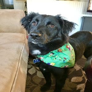 adoptable Dog in , ME named Bear