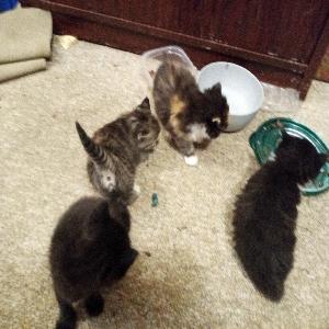 adoptable Cat in Huntington, WV named Their kittens litter of kittens