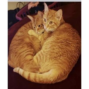 adoptable Cat in Post Falls, ID named Honey & Zu Zu