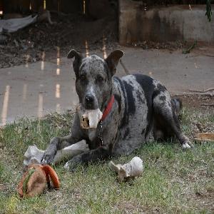 adoptable Dog in Clovis, NM named Ajax