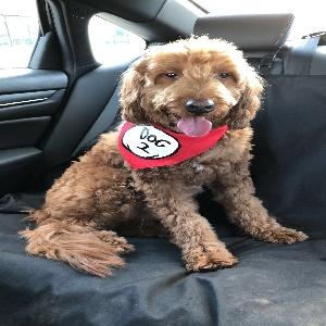 adoptable Dog in Overland Park, KS named Brewster