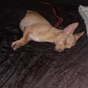 adoptable Dog in Las Vegas, NV named Peanut