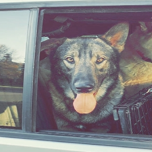 adoptable Dog in , ND named Kodi (Kodiak)