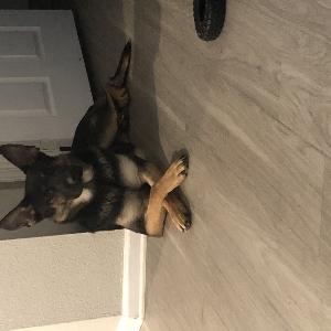 adoptable Dog in Las Vegas, NV named Kane