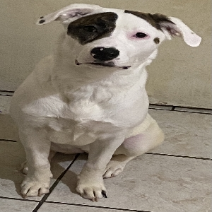 adoptable Dog in Las Vegas, NV named Kallie