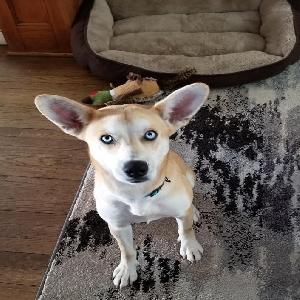 adoptable Dog in Cedar Rapids, IA named Yugi