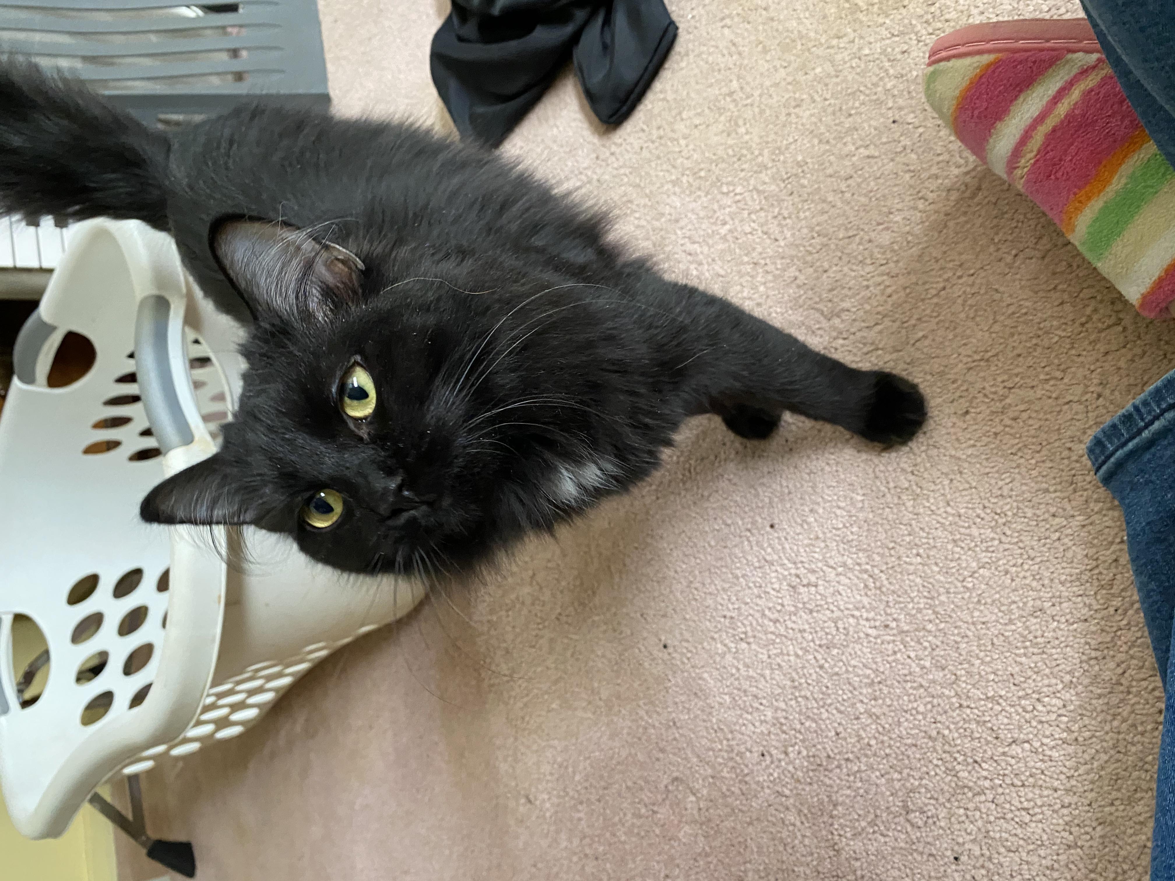adoptable Cat in Charles Town,WV named Sabrina