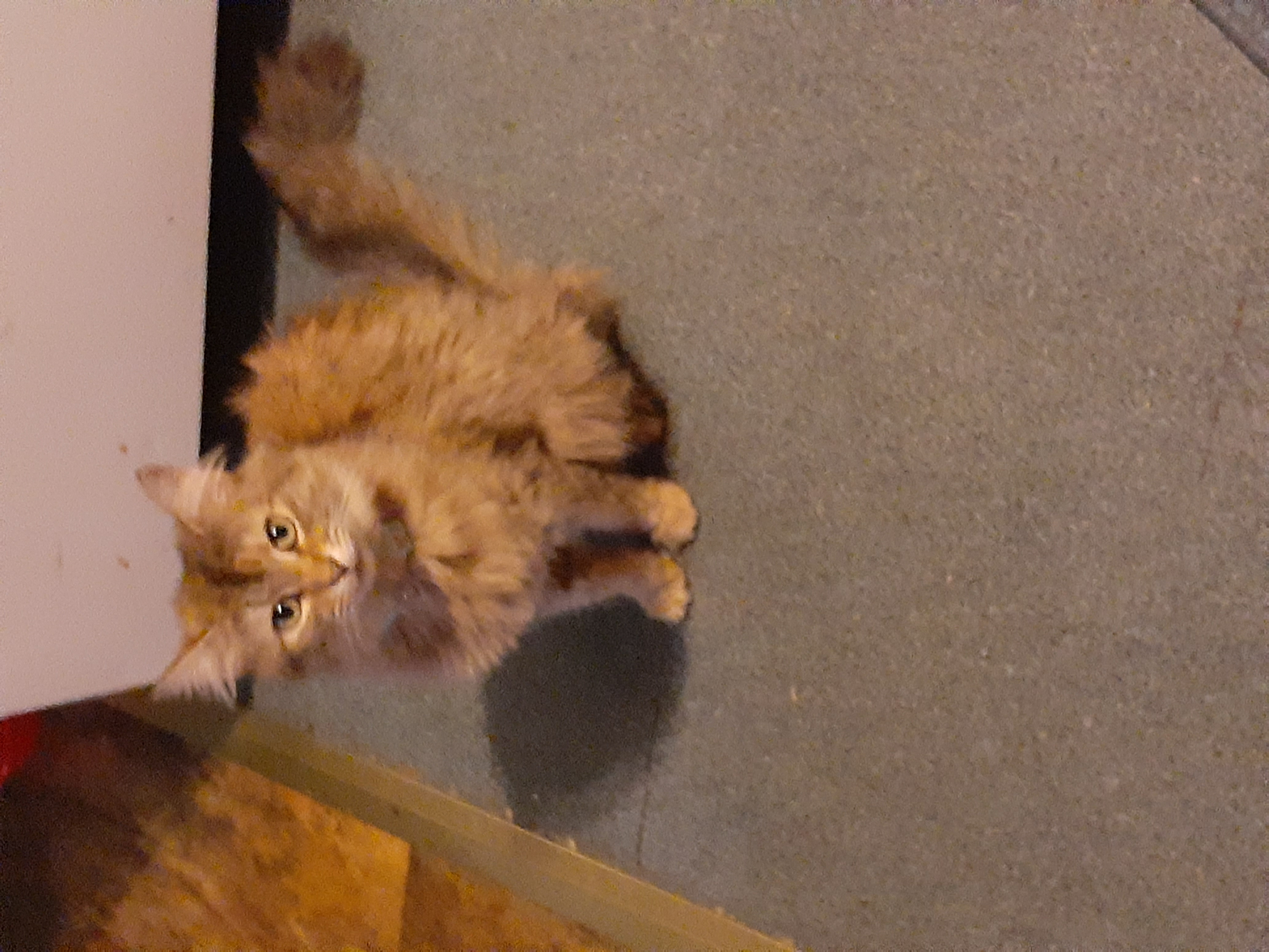 adoptable Cat in Huntington,WV named Buzz