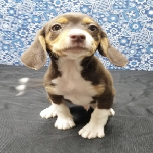 adoptable Dog in Washington, DC named Sam