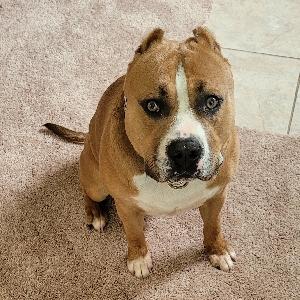 adoptable Dog in Houston, TX named Domino