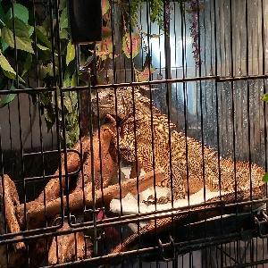 adoptable Reptile in Roseburg, OR named Mika (Bean)